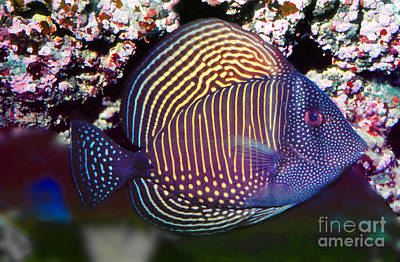 Red Sea Sailfin Tang  Zebrasoma Desjardinii Art Print
