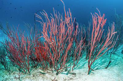 Red Sea Whips Art Print by Georgette Douwma