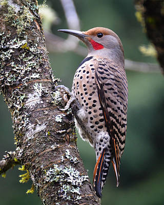 Photograph - Red Shafted Flicker Vi by Ronda Broatch