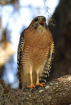 Photograph - Red Sholdered Hawk by John Black