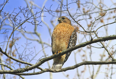 Red Shouldered Hawk Photograph - Red Shoulder 121612 by Deborah Benoit