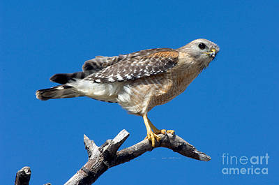 Buteo Lineatus Photograph - Red-shoulder Hawk by Anthony Mercieca