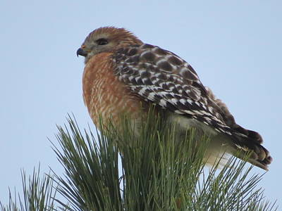Photograph - Red Shoulder Hawk by Ellen Meakin