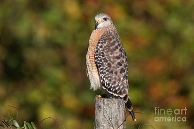 Photograph - Red-shoulder Hawk by Jennifer Zelik