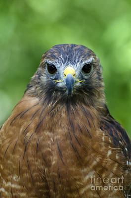 Buteo Lineatus Photograph - Red-shoulder Hawk by Mark Newman