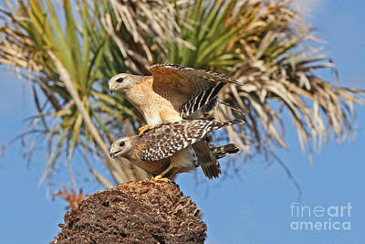 Photograph - Red-shoulder Hawks by Jennifer Zelik