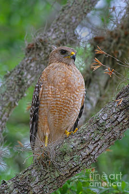 Red Shouldered Hawk Photograph - Red Shoulder Series 1 by Deborah Benoit