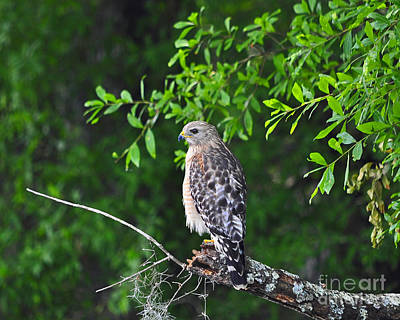 Buteo Lineatus Photograph - Red-shouldered Hawk by Al Powell Photography USA
