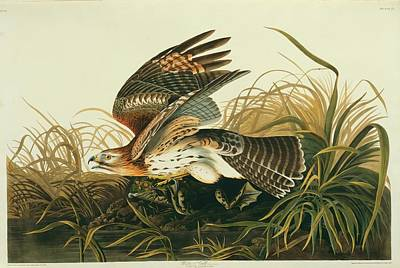 Red Shouldered Hawk Photograph - Red-shouldered Hawk And Prey by Natural History Museum, London/science Photo Library