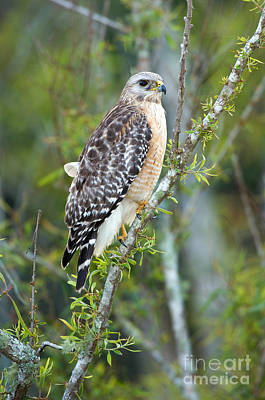 Buteo Lineatus Photograph - Red-shouldered Hawk by Anthony Mercieca
