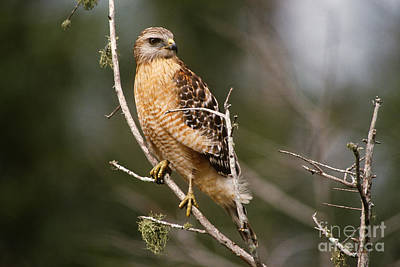 Buteo Lineatus Photograph - Red-shouldered Hawk by Art Wolfe