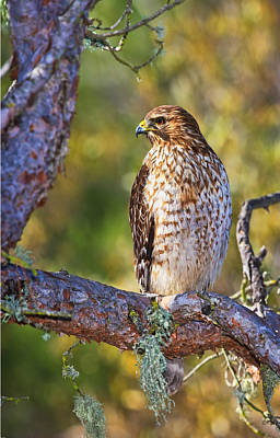 Photograph - Red Shouldered Hawk by Beth Sargent