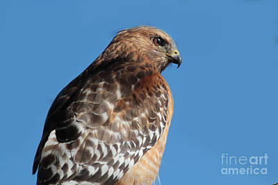 Photograph - Red-shouldered Hawk Buteo Lineatus California 2013  by California Views Archives Mr Pat Hathaway Archives