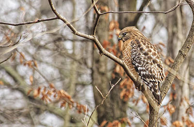 Red-shouldered Hawk By The C And O Canal Print by Francis Sullivan