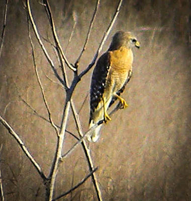 Photograph - Red Shouldered Hawk by Christy Usilton