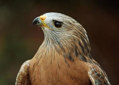 Art Print featuring the photograph Red-shouldered Hawk by Doug Herr