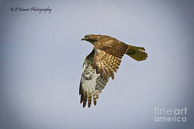 Photograph - Red-shouldered Hawk Flyby by Barbara Bowen