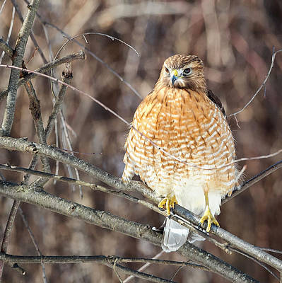 Hawk Photograph - Red-shouldered Hawk Front View Square by Bill Wakeley