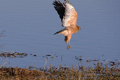 Red-shouldered Hawk Hunting 2 Art Print