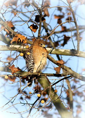 Red-shouldered Hawk - Img_7943 Art Print