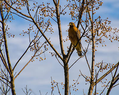 Digital Art - Red Shouldered Hawk In A Cherry Tree by Chris Flees