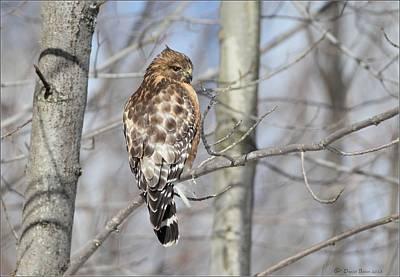 Photograph - Red Shouldered Hawk In Habitat by Daniel Behm