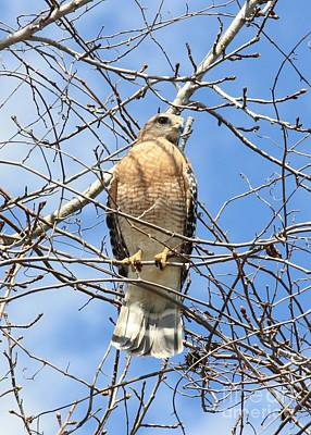 Red Shouldered Hawk Photograph - Red Shouldered Hawk In Tree by Carol Groenen