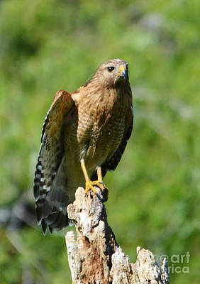 Photograph - Red Shouldered Hawk by Kathy Baccari