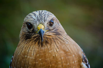 Photograph - Red Shouldered Hawk by Linda Villers
