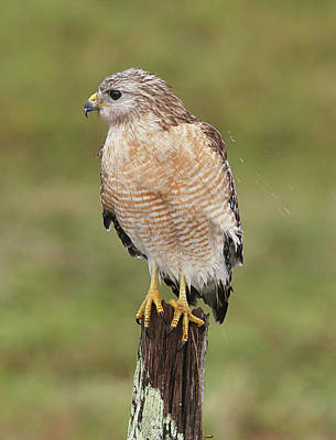 Red Shouldered Hawk Photograph - Red-shouldered Hawk by Manuel Presti/science Photo Library