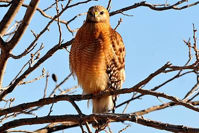 Photograph - Red-shouldered Hawk by Marilyn Burton