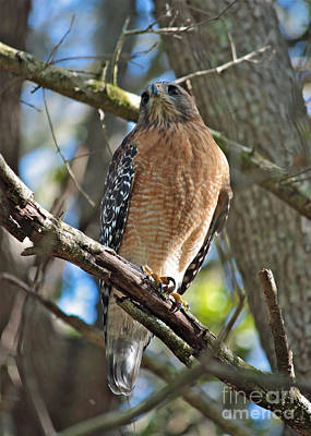 Red Shouldered Hawk Photograph - Red-shouldered Hawk On Branch by Carol Groenen