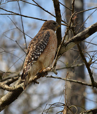 Photograph - Red Shouldered Hawk On Loop Road by rd Erickson