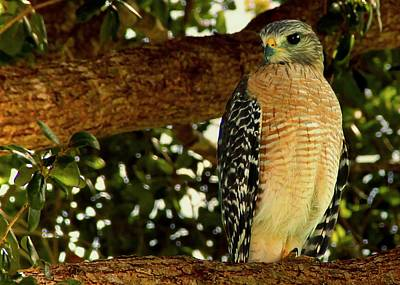 Red Shouldered Hawk Art Print by Patricia McAtee