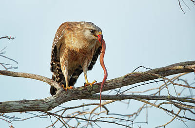 Red Shouldered Hawk Photograph - Red-shouldered Hawk by Paul E Tessier