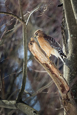 Red Shouldered Hawk Photograph - Red Shouldered Hawk Portrait by Bill Wakeley