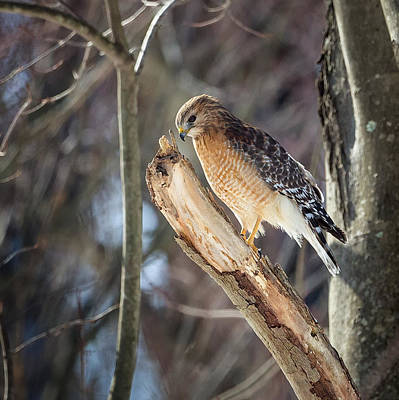 Red Shouldered Hawk Photograph - Red-shouldered Hawk Portrait Square by Bill Wakeley