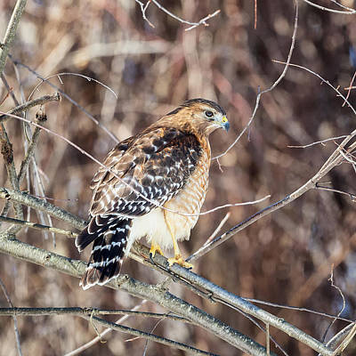Square Format Photograph - Red-shouldered Hawk Rear View Square by Bill Wakeley