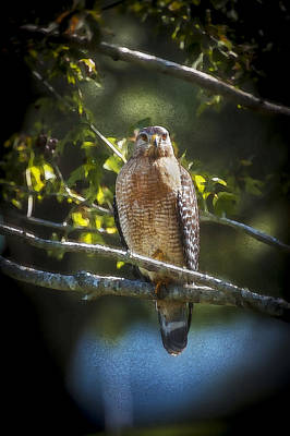 Buteo Lineatus Photograph - Red Shouldered Hawk by Rich Franco