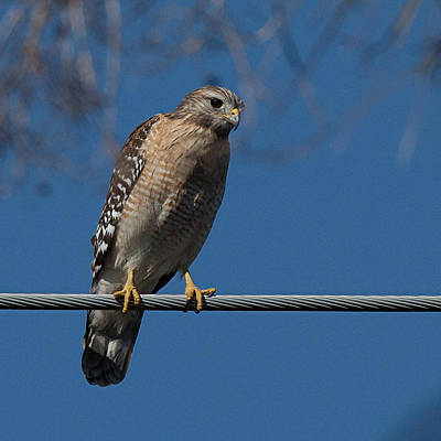 Photograph - Red-shouldered Hawk by Richard Goldman