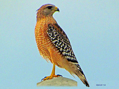 Photograph - Red-shouldered Hawk by T Guy Spencer