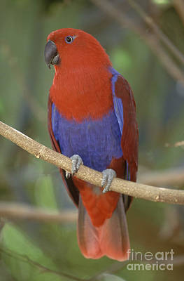 Eclectus Parrot Photograph - Red-sided Eclectus Parrot, Australia by Art Wolfe