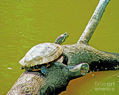 Photograph - Red Slider Bluebonnet Swamp Baton Rouge by Lizi Beard-Ward