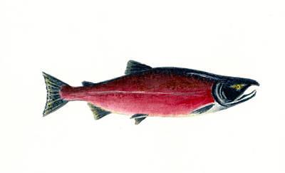 Sockeye Painting - Red Sockeye Salmon by Michael Vigliotti