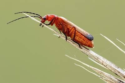 Red Soldier Beetle Art Print