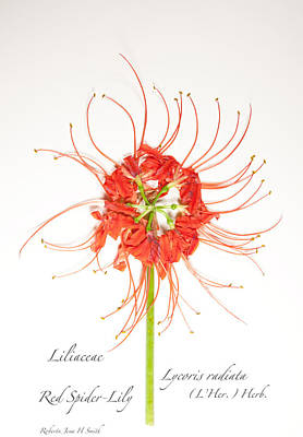 Red Spider-lily Art Print