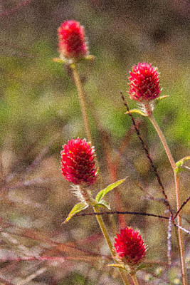 Photograph - Red Spiky Flowers by Karen Stephenson