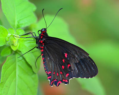 Photograph - Red Spotted Butterfly by Kathy M Krause