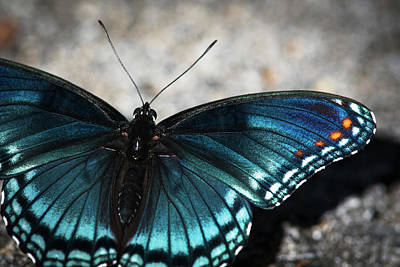 Red-spotted Butterfly  Limenitis Art Print by Robert L. Potts