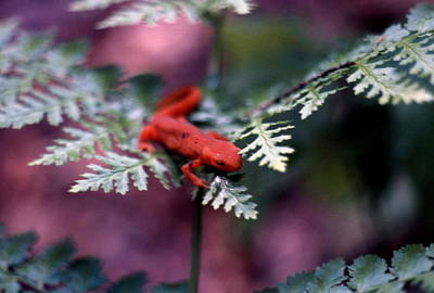 Red Eft Photograph - Red Spotted Newt by Brian Lucia